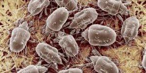 Dust mite image VA DC MD